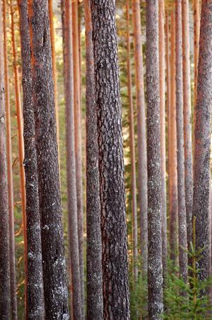Skogen är mycket värdefull ur både ekonomisk och naturvårdsmässig synvinkel.