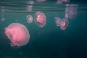 Det blir allt fler maneter i världens hav.