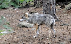 Det här är en varg som bor på Kolmården.