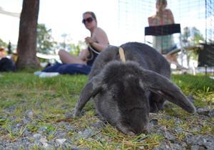 En stunds vila i skuggan. Kaninen Nora ska alldeles strax ge sig ut på hinderbanan och tävla i finalen i Bergslagstrofén 2014 tillsammans med kaninförare Maria Knutsson.