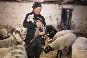 Ett 20-tal får slaktades förra året, och tillökningen i år blev 20 lamm.