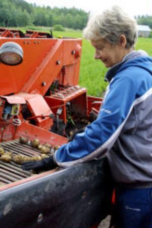 Britt Wedin står på trakrorflaket och sortera och rensar nypotatisen.