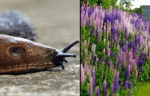 Mördarsniglar och lupiner är exempel på främmande, invasiva arter som ställer till stora problem i den svenska naturen.
