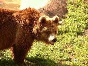 Björnarna har vaknat i Härjedalen.