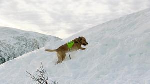 Att kuta i fjällen och leta lavinoffer, det är livet för hunden Fly, som får chansen att visa vad han går för denna vecka.