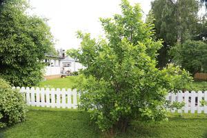 Ett stort Krikonträd kommer att ge frukt för första gången i år.