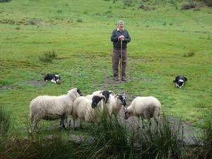 När vi var på Irland i september fick vi träffa denna fåraherde som med olika visslingar fick sina hundar att leda flocken. Se på hundarna hur de ligger och vaktar sina får.