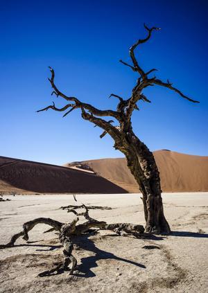 Landskapet i Namibia är vidunderligt, kargt men hisnande vackert. Safari här är något alldeles speciellt. Den döda skogen Dead Vlei ligger mellan sanddynerna i Sossusvlei.   Foto: Jörgen Ulvsgärd