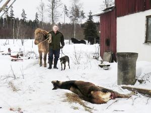 Dramats slut. Claes-Göran Alvsell vid den avlivade hjorten på gården Källsvedet. Efter vargbesöket fick han försöka att lugna ner sina utegående hästar.