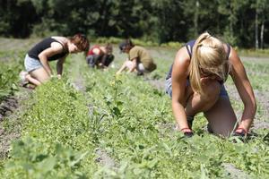 ogräs. Att rensa ogräs utgör en stor del av trädgårdsarbetet för volontärerna på Senneby Trädgård.