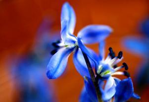 Den späda scillan med sin blå färg ger en härlig försmak av vår. Foto:Johan Solum