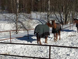 Hästarna kelade i vårsolen