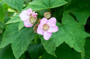 Rosenhallon – föraktad buske  eftersom den är så lättodlad.
