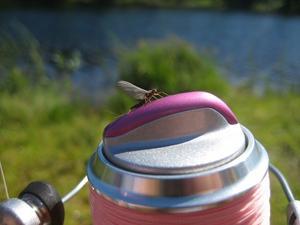 Vi var 5 tjejer som åkte till Valsjöbyn och fiskade en vecka. Den här fina sländan satte sig på min fiskerulle.