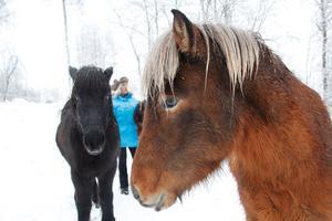 Hemma igen. De tre islandshästar som sprang till skogs under nyårsnatten hittades på onsdagen.