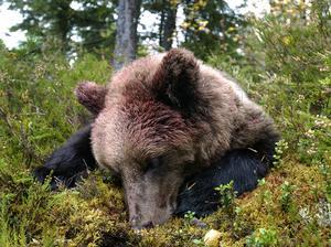 Arkivbild från björnjakten i Ånge 2010, innan åtling blev tillåtet.