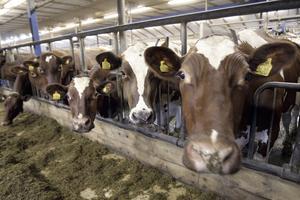 Per-Anders Larsson har lösdrift i sin lagård och under sommarhalvåret går de 140 mjölkkorna ut och in som de vill.