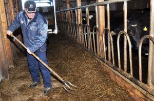 Conny Henriksson har 21 kor av Holsteinras. De har tillgång till mat hela tiden och gott om plats att äta i ligghallen. Här ser Conny till att de har grovfoder inom räckhåll.
