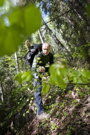Kommunekolog Pär Lundagårds visar beståndet av vilda lindar på sydsluttningen av Järvsöklack. Lindarna är förmodligen en relikt från en varmare tidsperiod.