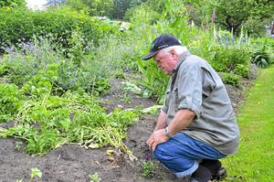 Allt arbete för att få sin egen odlade potatis har gått om intet för Karl-Erik Lindgren. Marodörer har varit i potatislandet och förstört hela årsskörden.