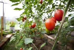 Näringen från vattnet i fiskodlingen ska ge gödsel till 200 ton tomater per år.