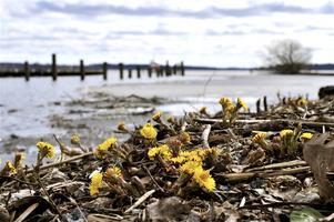 Mälarens is har precis börjat försvinna och Tussilagon blommar för fullt.