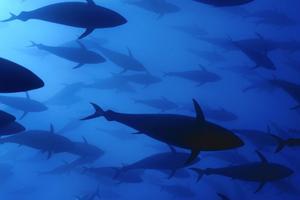 Mer än åtta av tio svenskar tycker att butikerna bör plocka bort alla ohållbara fisk- och skaldjursprodukter från sina hyllor, enligt en undersökning från GlobeScan, skriver insändaren. Foto: Solvin Zankl/Wild Wonders of Europe.