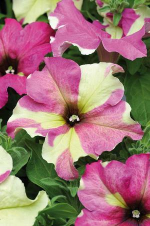 Lila och lime, trendigt värre. Fröfirman Impecta tror att Petunia Sophistica Lime Bicolor blir en hit.