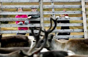 Elever från Hallens skola har förlagt ett studiebesök till Glen. Linda Dahlqvist, Oscar Eriksson och Emma Johansson kikar in på renarna.
