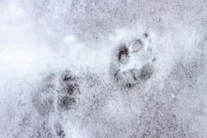 Spår saknas efter flera vargar.