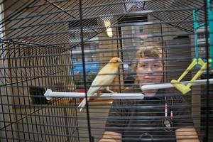 Inburad. På hittegodsavdelningen finns det burar redo för djur som lämnas in. Som den här fågeln, troligen en kanariefågel, som en privatperson hittat. Djur behöver aldrig avliva, säger administratören Anette Gustafsson. Foto: Magnus Östin