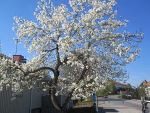 Nu fångade jag magnolian i sin allra vackraste blomning.