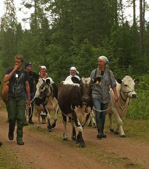 – Fäbodbruket går ut på att flytta djuren ut i skogen, om jag åker därifrån för att ladda en kassaapparat har jag ingen uppsikt över djuren, säger Tin Gumuns som kommer att överklaga Förvaltningsrättens dom.