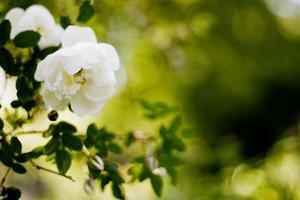 RAR ROS. I mer än 200 år hade den här rosen färdats från söder till norr innan den 2005 hamnade i Södra koloniområdets mylla.