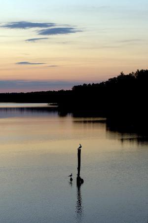 Denna bild tog jag vid ca tretiden på morgonen veckan efter midsommar förra året. Platsen är Borgåsund och det är en trut som håller konsert för sin fru gissar jag.