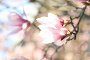 Ett underbart Magnoliaträd som växer i mina föräldrars trädgård. Tyvärr så vissnar blommorna fort, så det gäller att föreviga dem med kameran.
