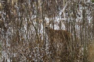 Kronhjortarna leker kurragömma med fotografen.