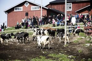 Hundratals människor besökte kosläppet i Näsviken. – Tyvärr är det lite blött i hagen, säger bonden Birgitta Norberg.