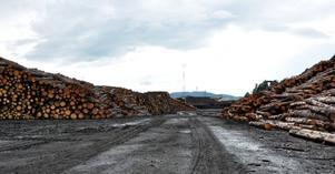 Virket blir mindre angripet om det får ligga på sågen än kvar i skogen, berättar Peter Mark.
