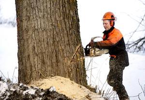 Stig Svedin sågar upp ett fällskär i ett av jätteträden.