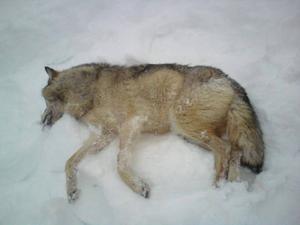 En tidigare varg som det har bedrivits skyddsjakt på i Jämtlands län.