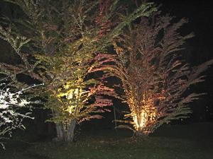 """Stämningsfullt. I lördags kväll ljussattes växter och byggnader i Kinaparken. På bilden """"kakträdet"""" katsuran.BILD: ALDO ANDERSSON"""