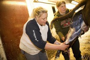 Jeanette och sommarjobbaren Viola hjälper kossan genom att dra i kalven när hon krystar.