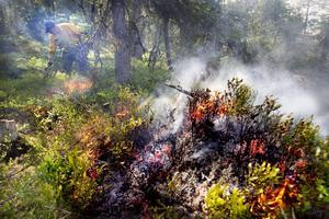 Många växter och djur lever på de träd som dör av branden.