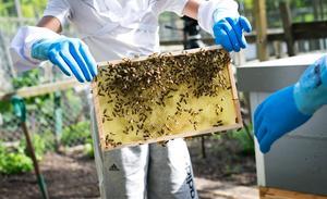 Många bin. I juli finns det 50 000 bin per kupa och varje bisamhälle styrs av en drottning.
