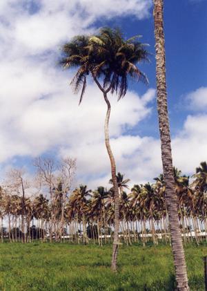 På Tonga i Söderhavet finns öns enda två-delade palm. För oss berättade befolkningen att detta är deras stolthet. Den har klarat sig från orkaner ett antal gånger vilket gör den magisk !!