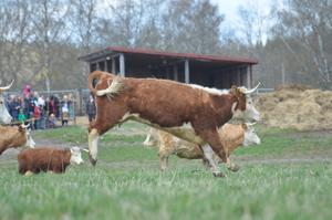 Runt 30 kossor och kalvar släpptes ut på sommarens grönbete och så här lyckliga blev de.