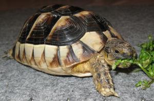Det här är min lilla sköldpadda som äter nate. Plockad den 17:e december.Helt otroligt !  Men paddan är nöjd.