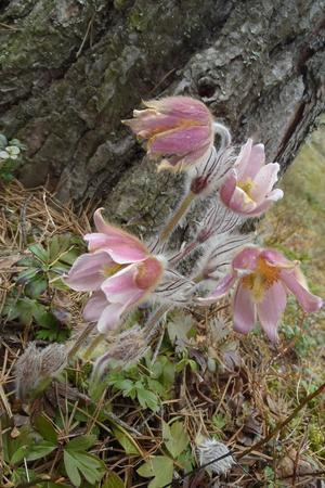 Mosippa är en av de sällsynta arter som växer i området.