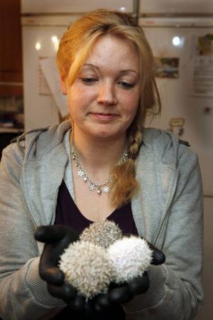 Alexandra Dewall i Hissmofors tar på sig handskar innan hon tar upp de vassa igelkottungarna.